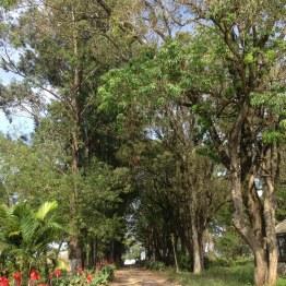 Quebra-ventos eucaliptos