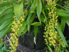 Gomesa orquide