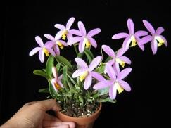laelia orquidea