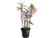 orquídea-dendrobium-